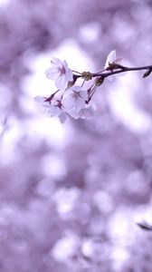 Preview wallpaper cherry, twig, sakura, branches