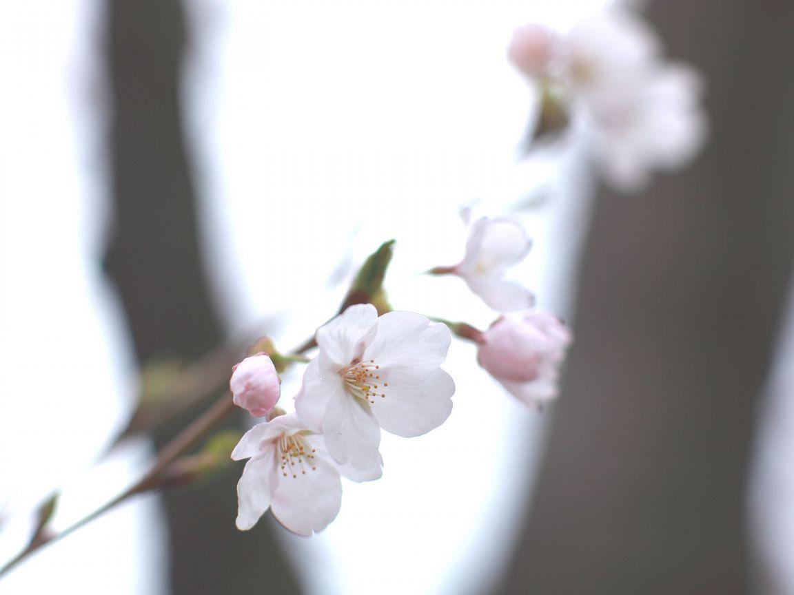1152x864 Wallpaper cherry, white, twig, sky, spring, motion blur, light