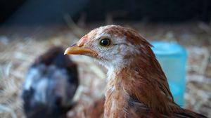 Preview wallpaper chicken, bird, beak, feathers