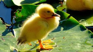 Preview wallpaper chicken, duck, beak, leaves