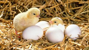 Preview wallpaper chicken, eggs, shell, hatched, hay