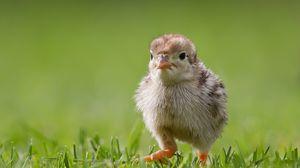 Preview wallpaper chicken, grass, bird