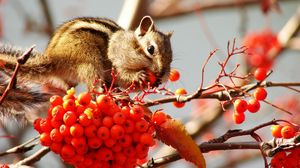Preview wallpaper chipmunk, bunch, branches, berries, mountain ash, leaf
