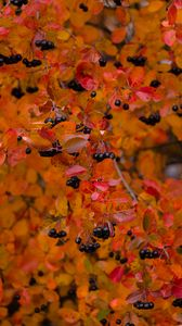 Preview wallpaper chokeberry, berries, branch, leaves, autumn, macro