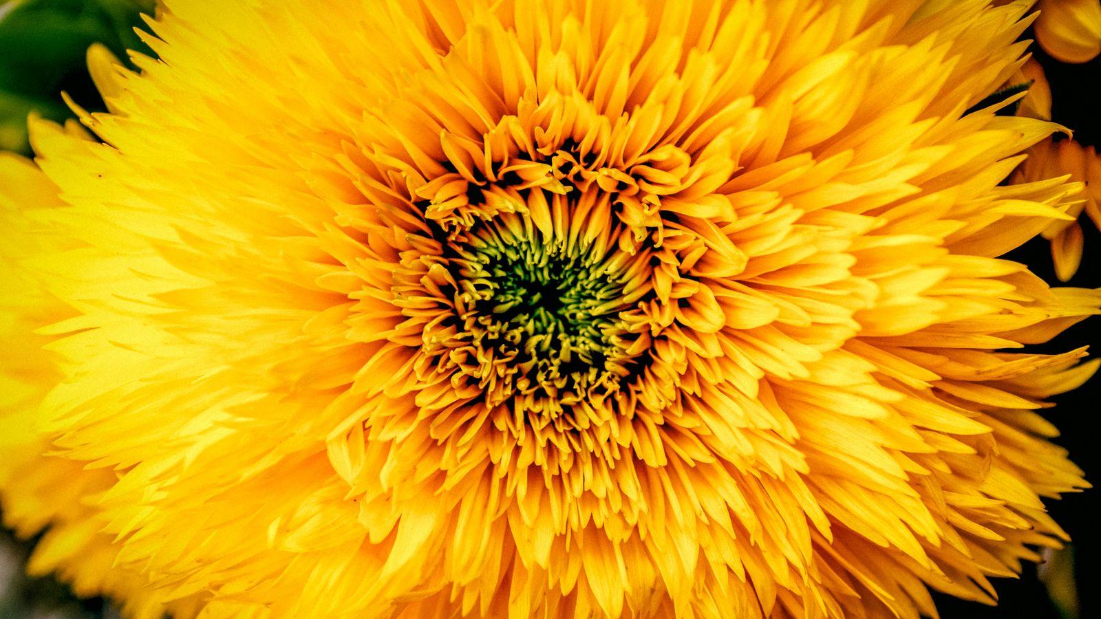 1600x900 Wallpaper chrysanthemum, yellow, petals, bud