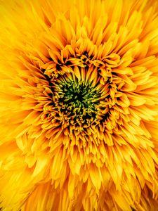 Preview wallpaper chrysanthemum, yellow, petals, bud