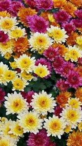 Preview wallpaper chrysanthemums, flowers, colorful, diversity, many