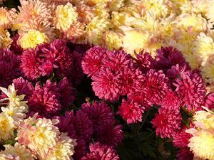 Preview wallpaper chrysanthemums, flowers, petals, pink, yellow