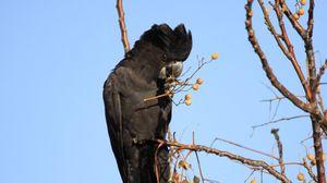 Preview wallpaper cockatoo, bird, branches, berries, wildlife