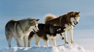 Preview wallpaper color, breed, dog, husky, snow, walk