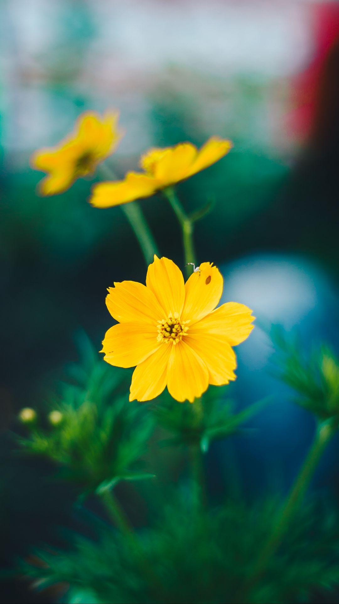1080x1920 Wallpaper cosmos, field flower, blur