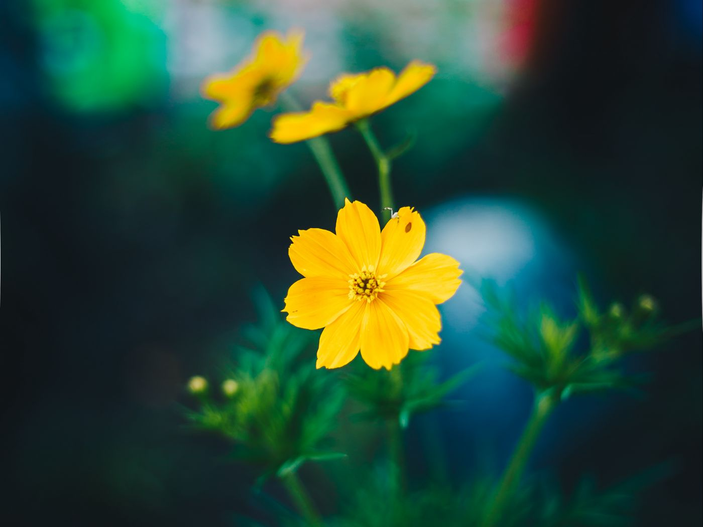 1400x1050 Wallpaper cosmos, field flower, blur
