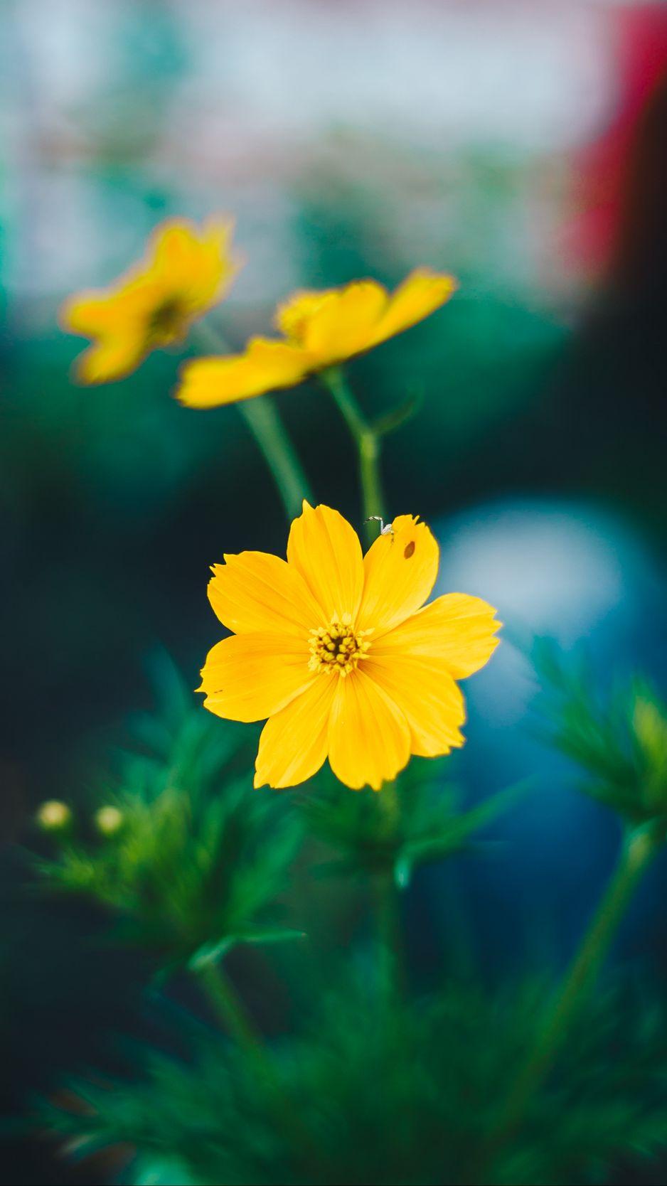938x1668 Wallpaper cosmos, field flower, blur