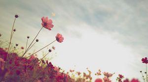 Preview wallpaper cosmos, flower, bloom, flower bed, sky, summer