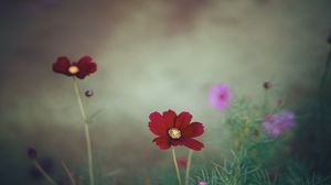 Preview wallpaper cosmos, flower, close-up, field
