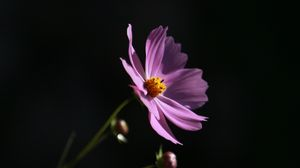 Preview wallpaper cosmos, flower, lilac, blooms, dark background