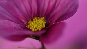 Preview wallpaper cosmos, flower, macro, purple, plant