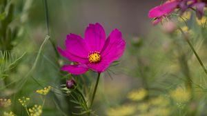 Preview wallpaper cosmos, flower, purple, macro, bloom