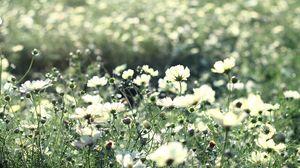 Preview wallpaper cosmos, flowers, field, grass