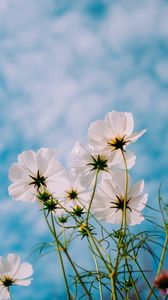 Preview wallpaper cosmos, flowers, white, petals, sky, summer