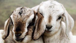 Preview wallpaper couple, beautiful, lambs