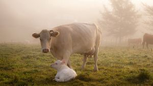 Preview wallpaper cow, calf, grass, care, animals