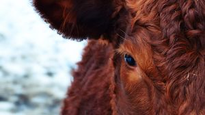 Preview wallpaper cow, face, eyes, hair