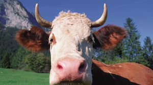 Preview wallpaper cow, face, horn, close-up