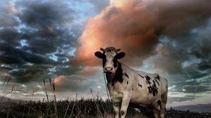 Preview wallpaper cow, field, cloudy, grass