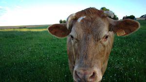 Preview wallpaper cow, field, meadow