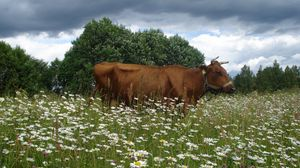 Preview wallpaper cow, flowering meadow, chamomile