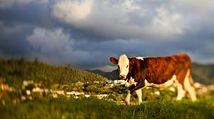 Preview wallpaper cow, grass, sky, walk