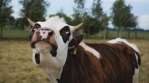 Preview wallpaper cow, muzzle, funny, horns