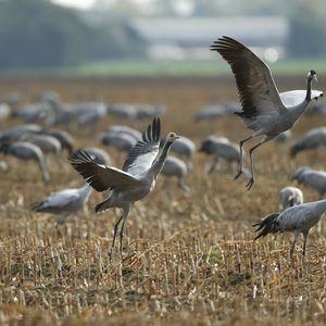 Preview wallpaper crane, flock, bird