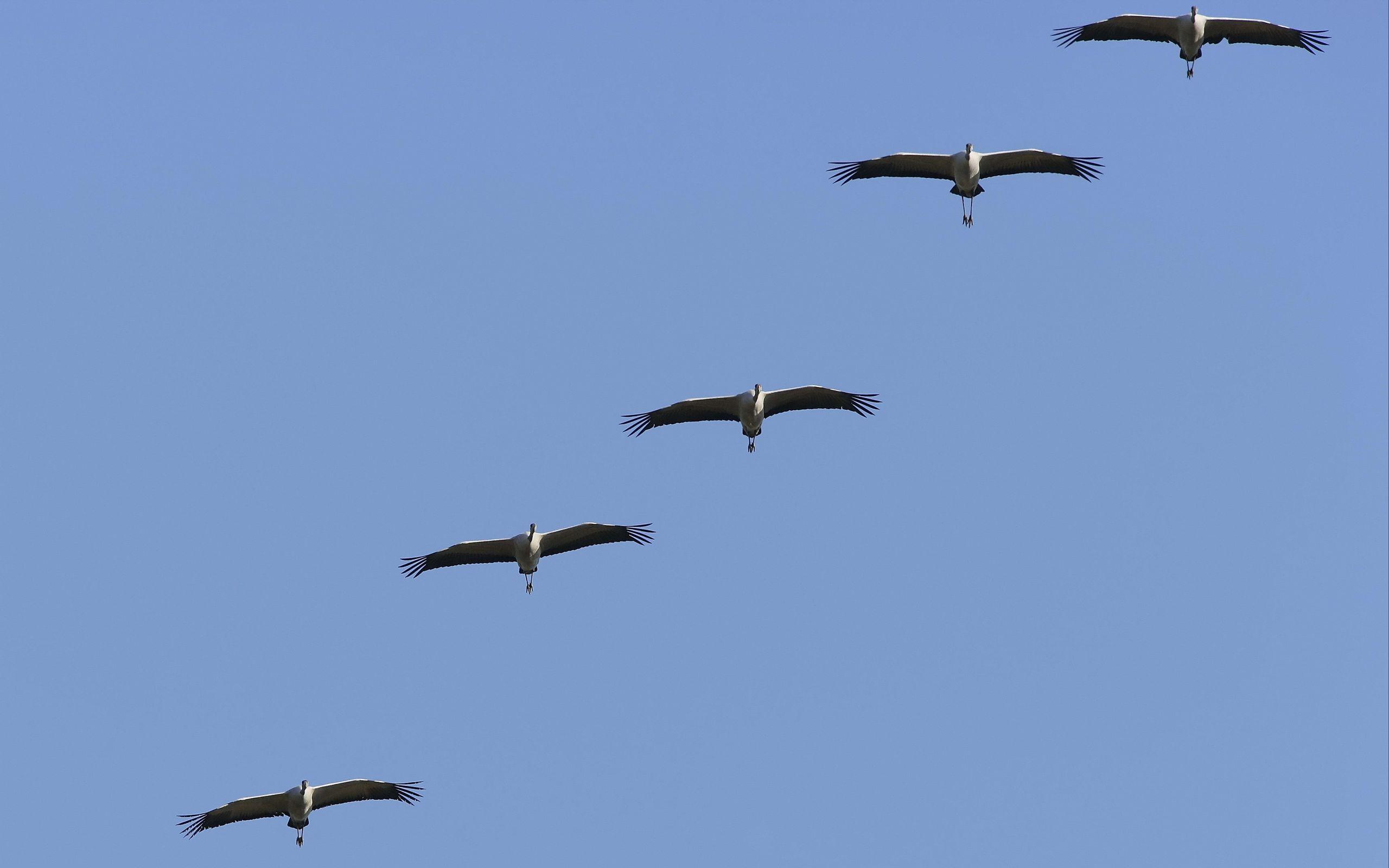 2560x1600 Wallpaper crane, flock, sky