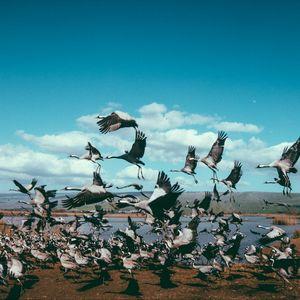 Preview wallpaper cranes, flock, birds, flight