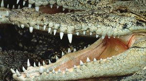 Preview wallpaper crocodile, mouth, face, teeth