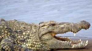 Preview wallpaper crocodile, teeth, anger, land