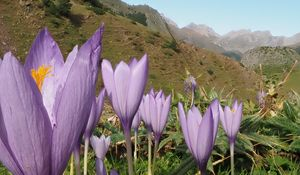 Preview wallpaper crocuses, flowers, purple, plants, mountains