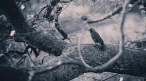 Preview wallpaper crow, bird, bw, tree, branches