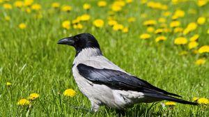Preview wallpaper crow, bird, grass