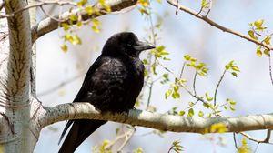 Preview wallpaper crow, branch, tree, bird