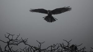 Preview wallpaper crow, branches, bw, bird, fly