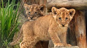Preview wallpaper cub, baby, kids, lion