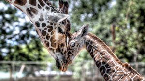 Preview wallpaper cub, giraffe, baby, mother, tenderness, hdr