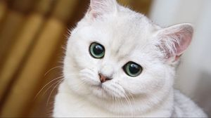 Preview wallpaper cute, white cat, muzzle