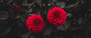 Preview wallpaper dahlia, buds, red, bush, leaves, bloom