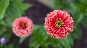 Preview wallpaper dahlias, flower, petals, blur, pink, close-up