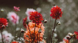 Preview wallpaper dahlias, flowerbed, buds, blossoms