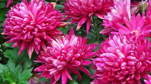 Preview wallpaper dahlias, flowers, flowerbed, bright, close-up